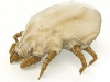 What Are Dust Mites?